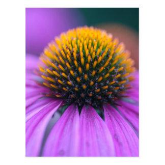 Coneflower púrpura (purpurea del Echinacea) Postal