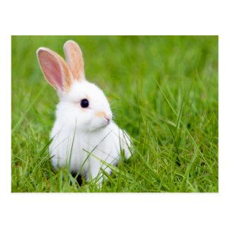 Conejo blanco postal