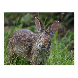 Conejo de Luisiana Postal