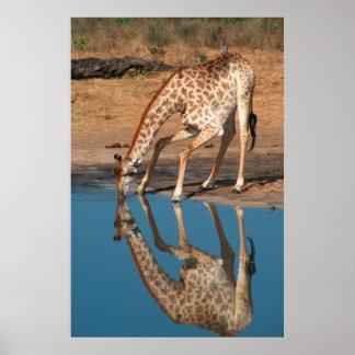 Consumición de la jirafa (Giraffa Camelopardalis) Póster