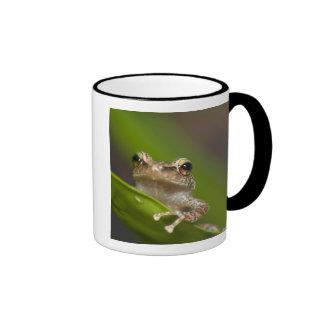 Coqui común, coqui del Eleutherodactylus, EL Taza De Café