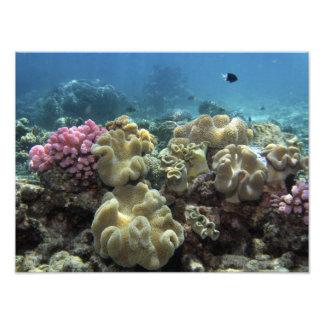 Coral, filón de Agincourt, la gran barrera de cora Cojinete