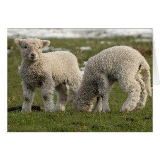 Corderos recién nacidos tarjeta de felicitación