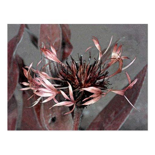Corrija de una flor de Montana del Centaurea Postal