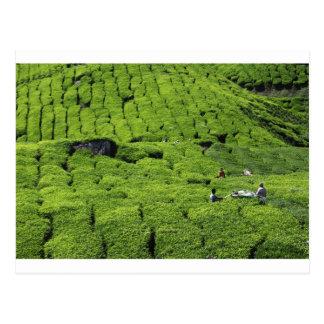 Cosecha de la plantación de té de plantas verdes postal