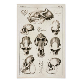 Cráneos de la impresión veterinaria de la anatomía