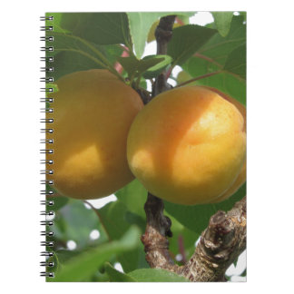Cuaderno Albaricoques maduros que cuelgan en el árbol.