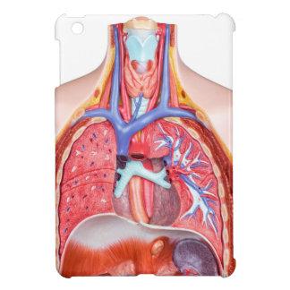 Cuerpo humano interno modelo en el fondo blanco