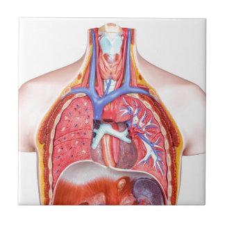 Cuerpo humano interno modelo en el fondo blanco azulejo cuadrado pequeño