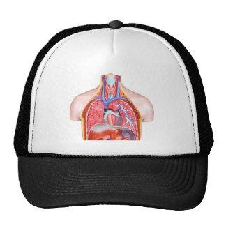 Cuerpo humano interno modelo en el fondo blanco gorros