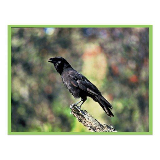 Cuervo hawaiano postal