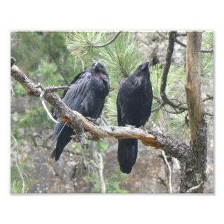 Cuervos en Colorado Foto