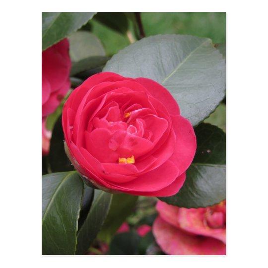 Cultivar japonés antiguo del japonica rojo de la postal