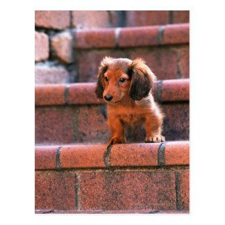 Dachshund miniatura postal