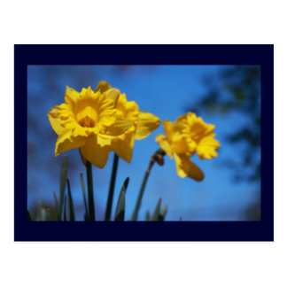 Daffodills Postal