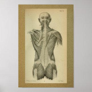 Del vintage de la anatomía de la impresión