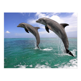 Delfin, Delphin, un Tuemmler más grueso, Tursiops  Postal