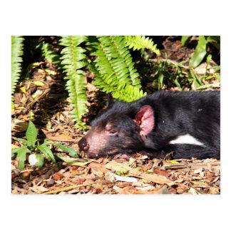 Diablo tasmano que toma el sol en la luz del sol postal
