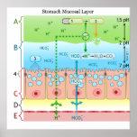 Diagrama de la capa mucosa alcalina en el estómago impresiones