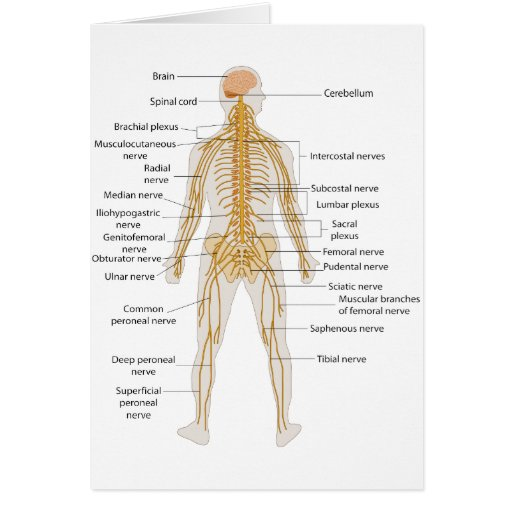 Diagrama del cuerpo humáno - Imagui