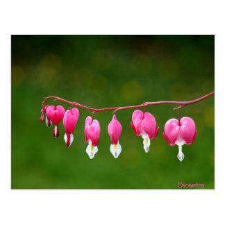 Dicentra - postal floral de la forma rosada del