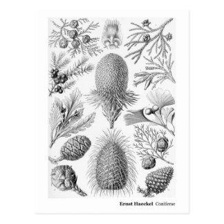 Dirección negra de Ernst Haeckel Coniferae nueva Postal