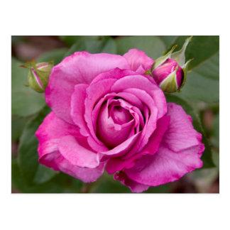 Diseño color de rosa rosado de la postal del