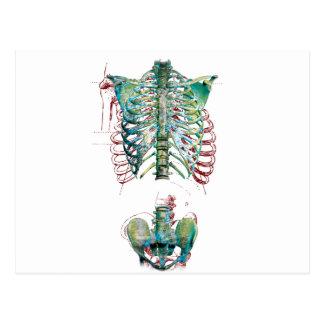 Diversión del esqueleto de la caja torácica del postal