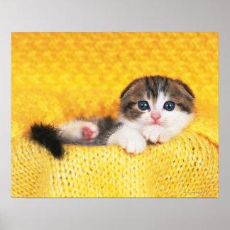 Doblez del escocés; es una raza del gato con un póster