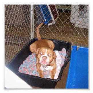 Dogo americano del moreno en cama del perro con la arte con fotos