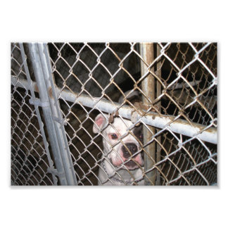 Dogo americano lindo detrás de barras impresiones fotográficas