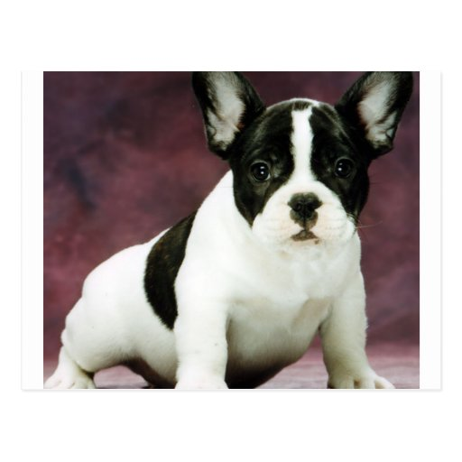 Dogo puppy.png de Brindle_pied_french Tarjetas Postales
