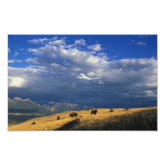 Donde el búfalo vaga por la impresión del poster impresion fotografica