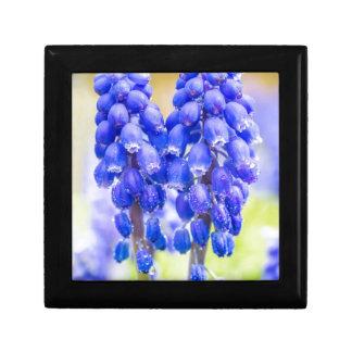 Dos jacintos de uva azules en primavera caja de regalo