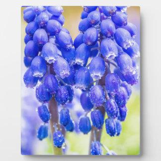 Dos jacintos de uva azules en primavera placa expositora