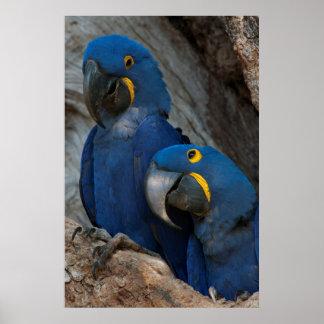 Dos Macaws del jacinto, el Brasil Póster