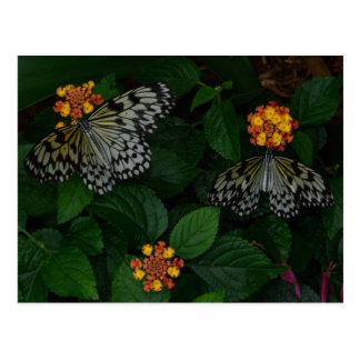 Dos mariposas blancas y negras hermosas postal