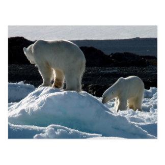 Dos osos polares postal