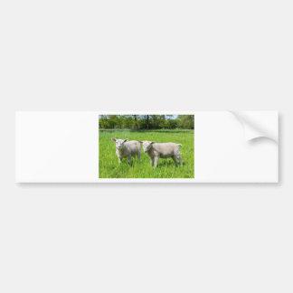 Dos ovejas holandesas blancas en prado verde de la pegatina para coche