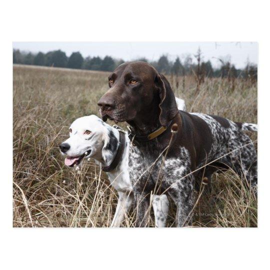 Dos perros en el campo, Houston, Tejas, los Postal