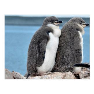 Dos pingüinos juveniles de Chinstrap Postal