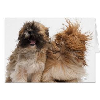Dos Shih-Tzus en el viento Tarjeta