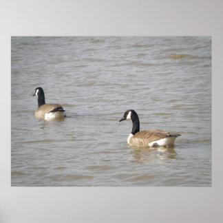 Ducks hacia fuera para un poster de la nadada