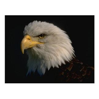 Eagle calvo americano postal