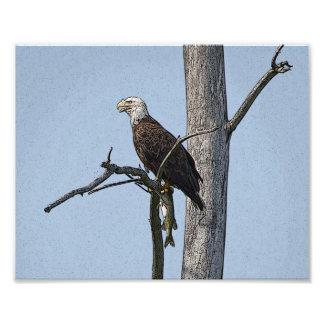 Eagle calvo con un pescado impresiones fotográficas
