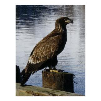 Eagle calvo en el muelle, isla de Unalaska Postal