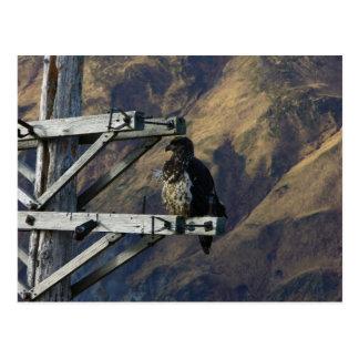 Eagle calvo juvenil en el teléfono poste de WWII Postal