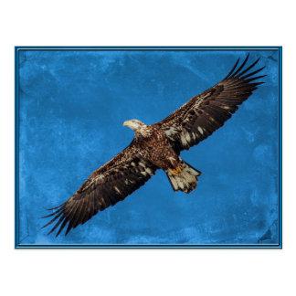 Eagle calvo juvenil en vuelo postal