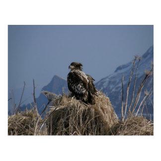 Eagle calvo juvenil por la orilla postal