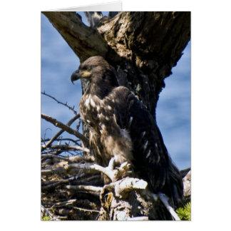 Eagle calvo juvenil - tarjetas